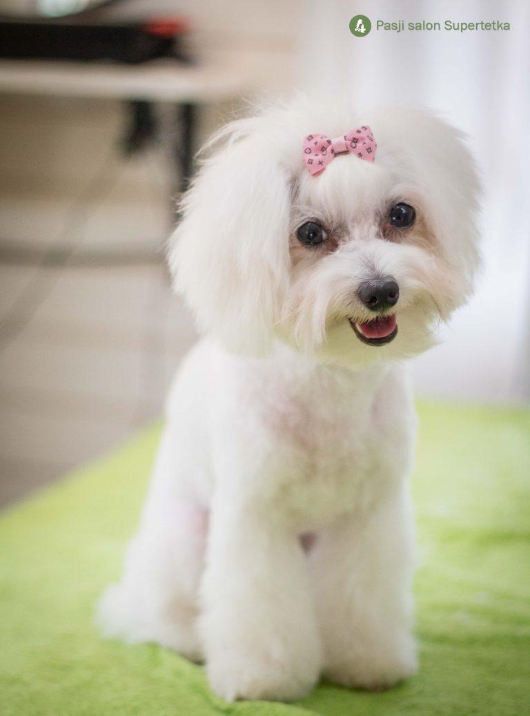 Coton na striženju v pasjem salonu