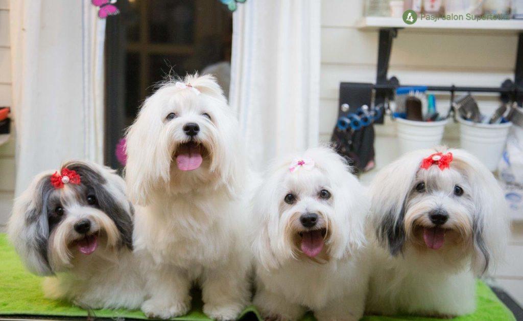 Česanje kužkov v pasjem salonu